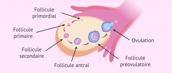 Imagen: Développement folliculaire