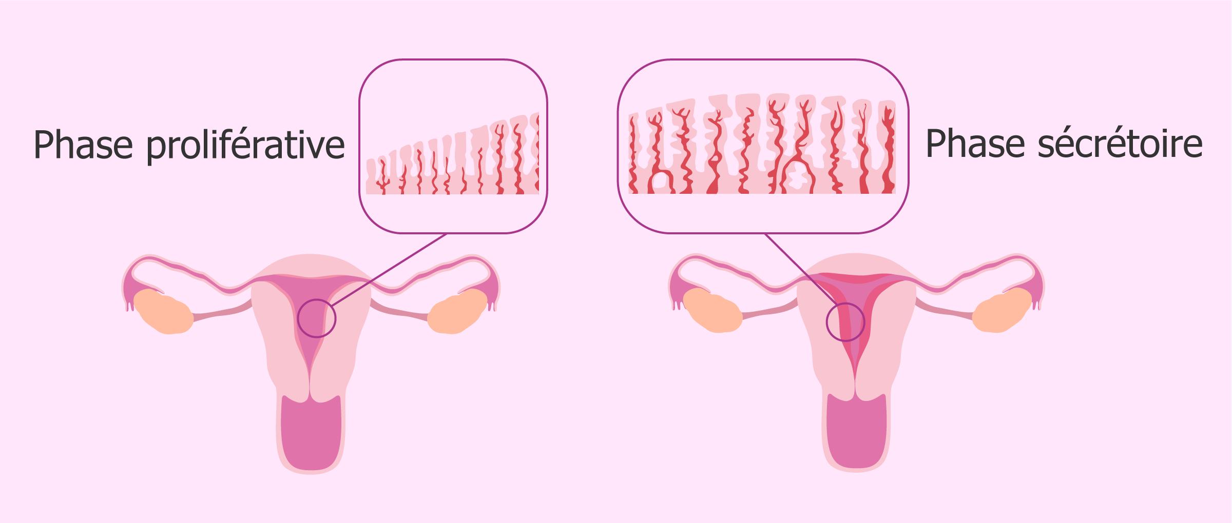 L'endomètre: définition et épaisseur au cours du cycle menstruel