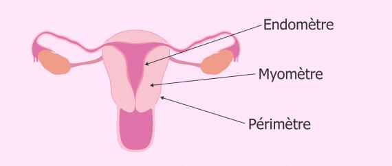 Morphologie de l'utérus