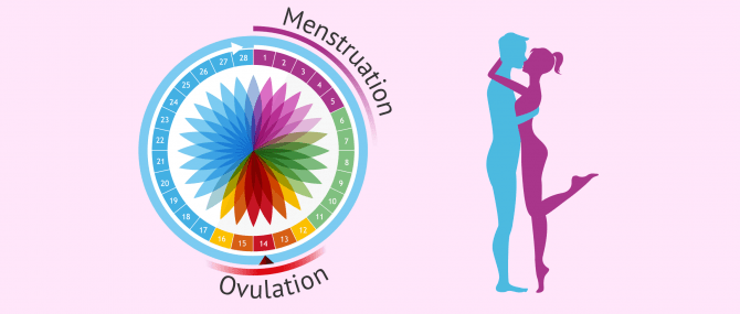 Rapports sexuels programmés au moment de l'ovulation