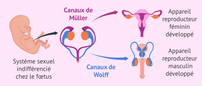 Différenciation sexuelle du fœtus