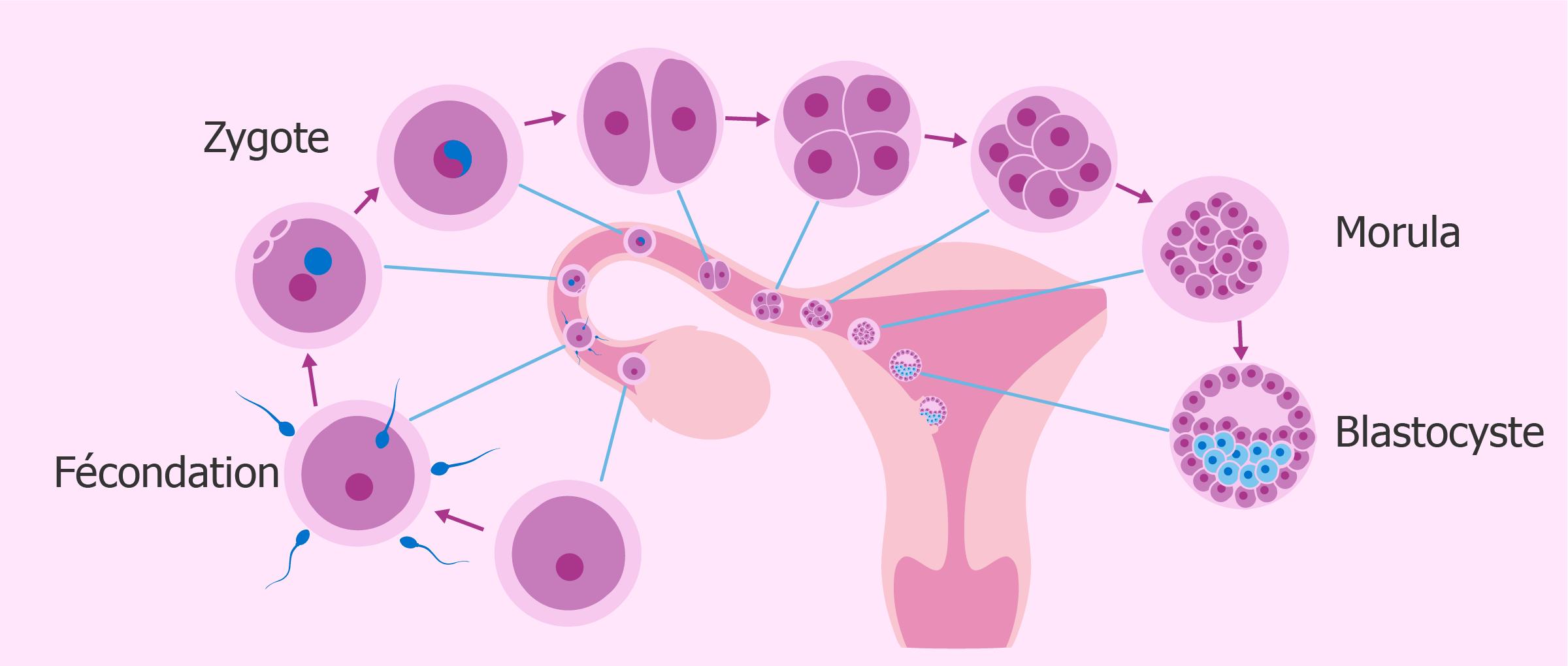Développement de l'embryon et nidation dans l'endomètre
