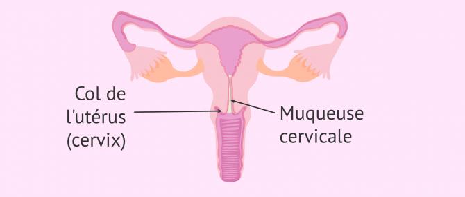 Le cervix