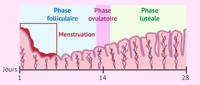 Changements de l'endomètre au cours du cycle menstruel