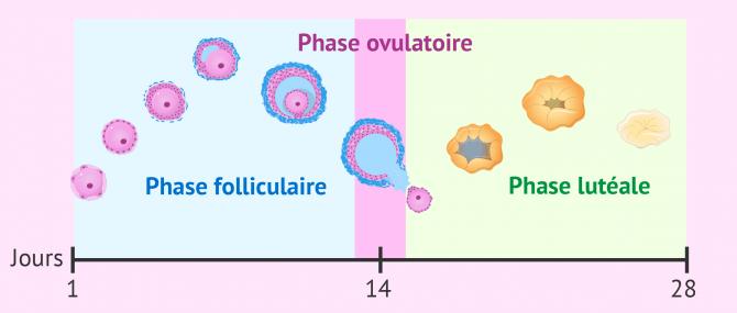 Développement folliculaire pendant le cycle menstruel