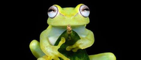 Test de grossesse de la grenouille