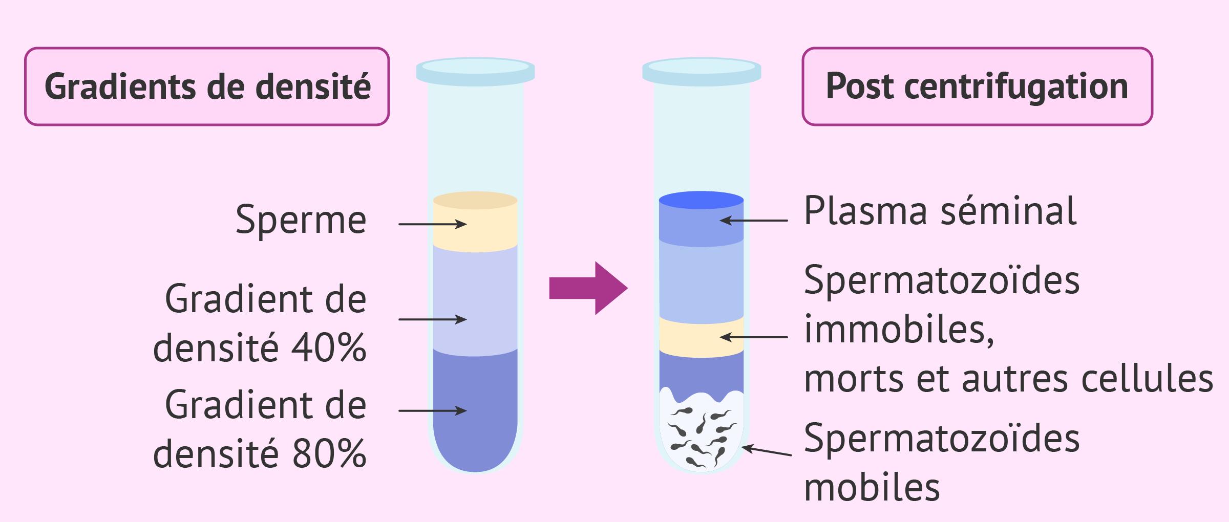 Capacitation du sperme