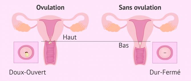 Changements du col de l'utérus pendant le cycle menstruel