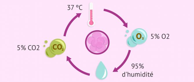 Conditions nécessaires pour cultiver des embryons en incubateur