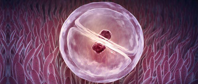 Implantation de l'embryon transféré
