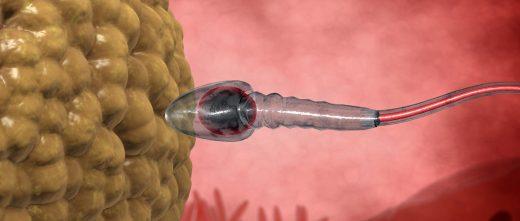 Fusion ovocytes et spermatozoïdes