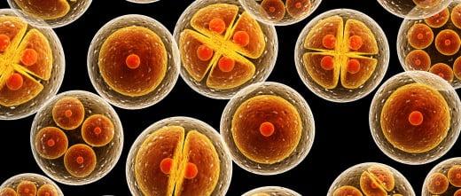 Transfert d'embryons