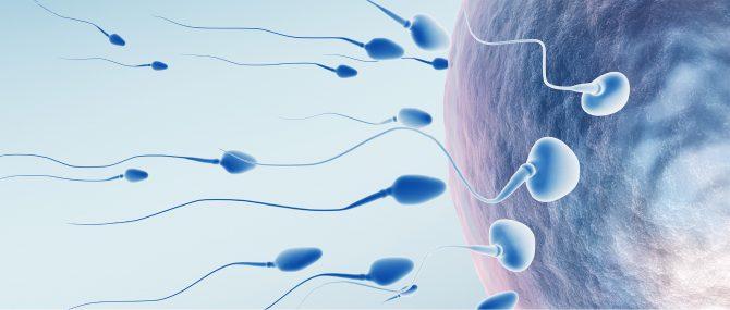 Union ovocyte et spermatozoïde au laboratoire