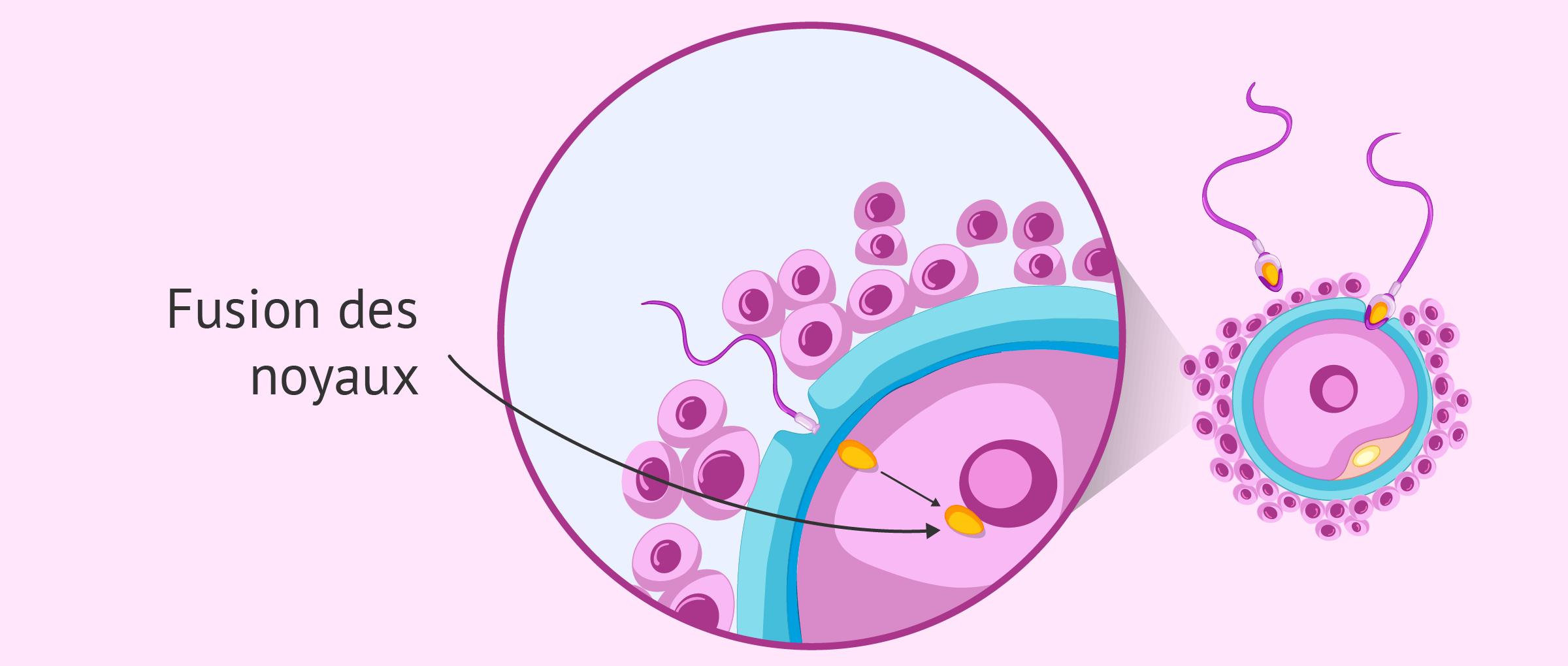 Fusion des noyaux