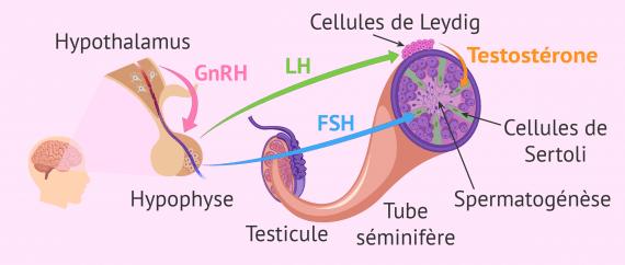 Spermatogénèse bilan hormonal de l'homme