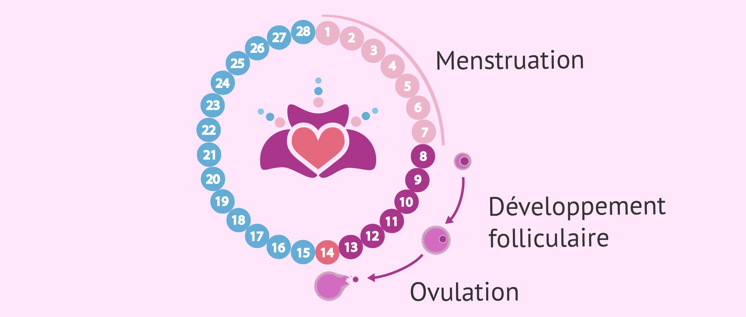 Développement folliculaire semaine 2 de grossesse