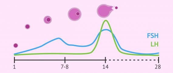 Niveaux de FSH et LH lors du cycle menstruel