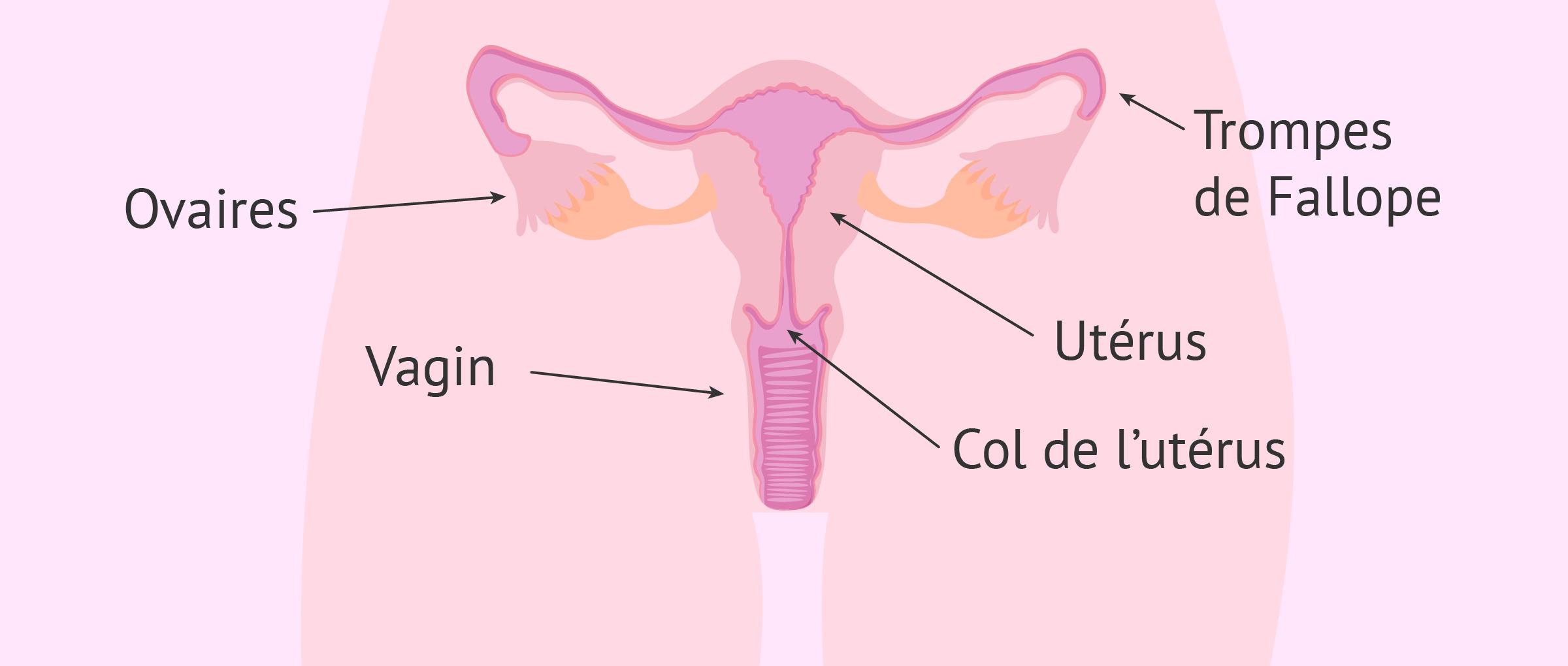 Système reproducteur de la femme: quand se situe ma période de fertilité?
