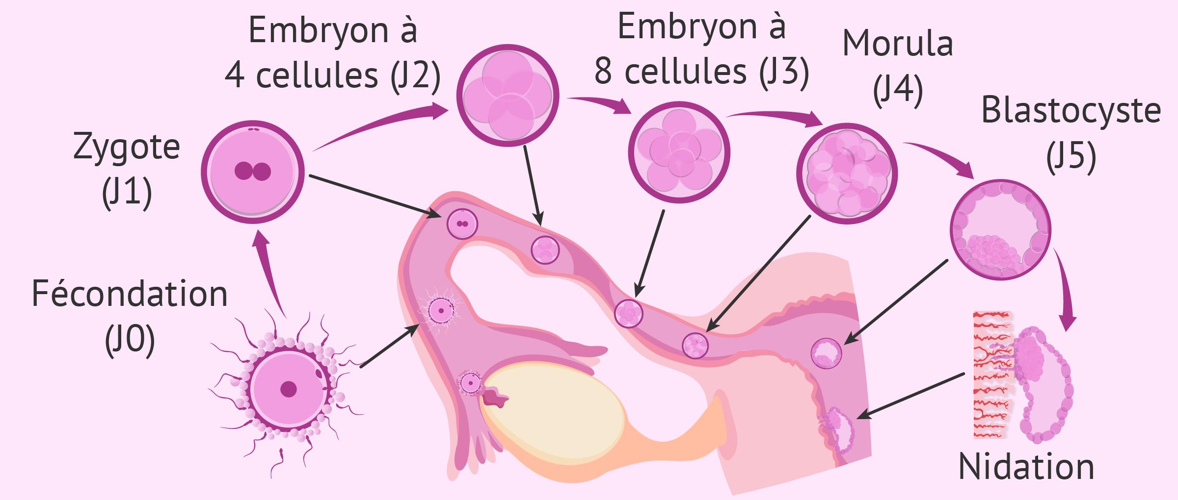 Fécondation et développement embryonnaire à la troisième semaine