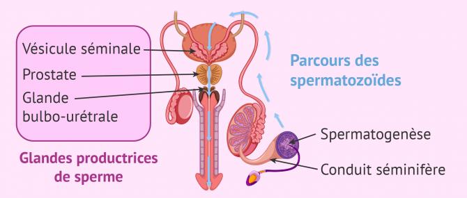 Formation des spermatozoïdes et du sperme