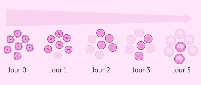 Seuls les embryons de bonne qualité arrivent au stade de blastocyste