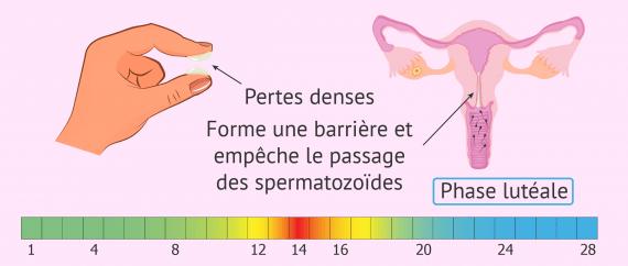 Aspect et fonction de la glaire cervicale pendant la phase lutéale
