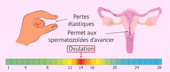 Aspect et fonction de la glaire cervicale pendant l'ovulation