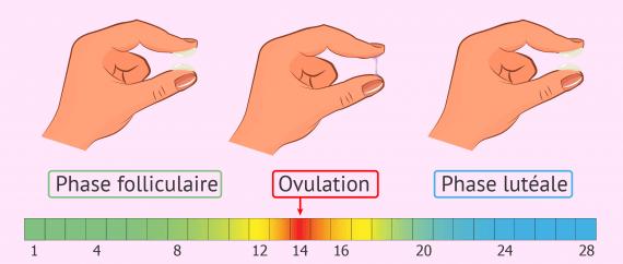 Calendrier d'ovulation et évolution de la glaire cervicale