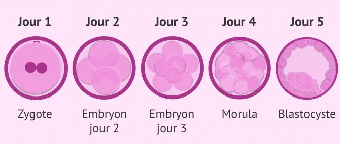 Comment se passe le développement de l'embryon depuis la fécondation?