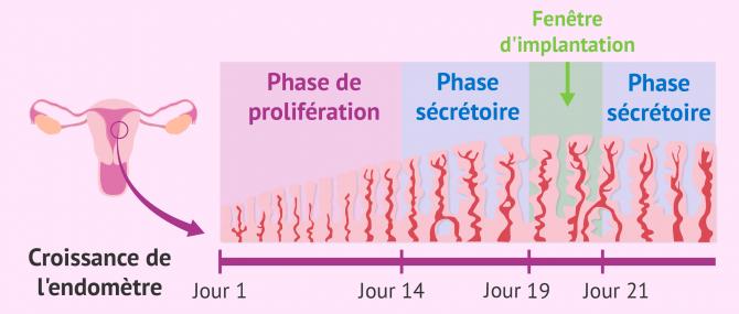 Étapes de la croissance endométriale