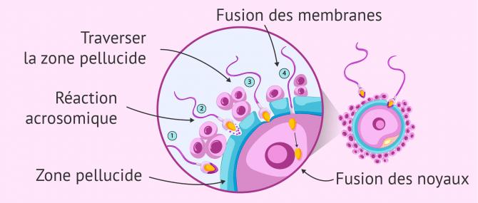 Schéma du processus complet de fécondation de l'ovule