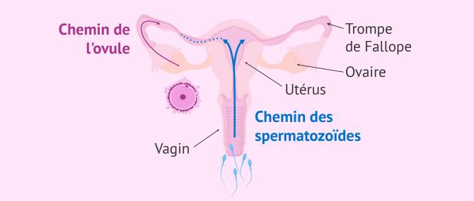 Imagen: spermatozoïdes dans les trompes de Fallope