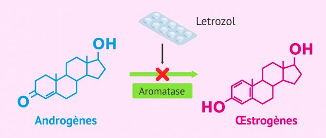 Imagen: schema letrozol androgenes estrogenes