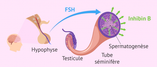 Imagen: Spermatogenese regulation hormonale FSH Inhibine