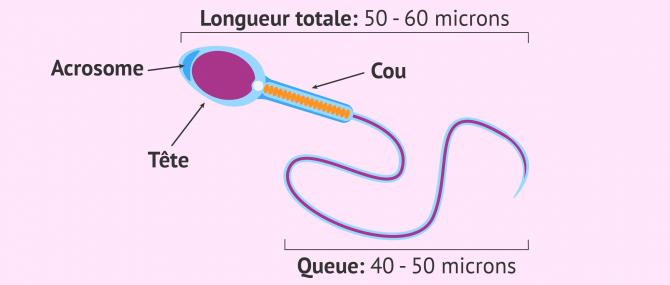 Imagen: spermatozoïde parfait