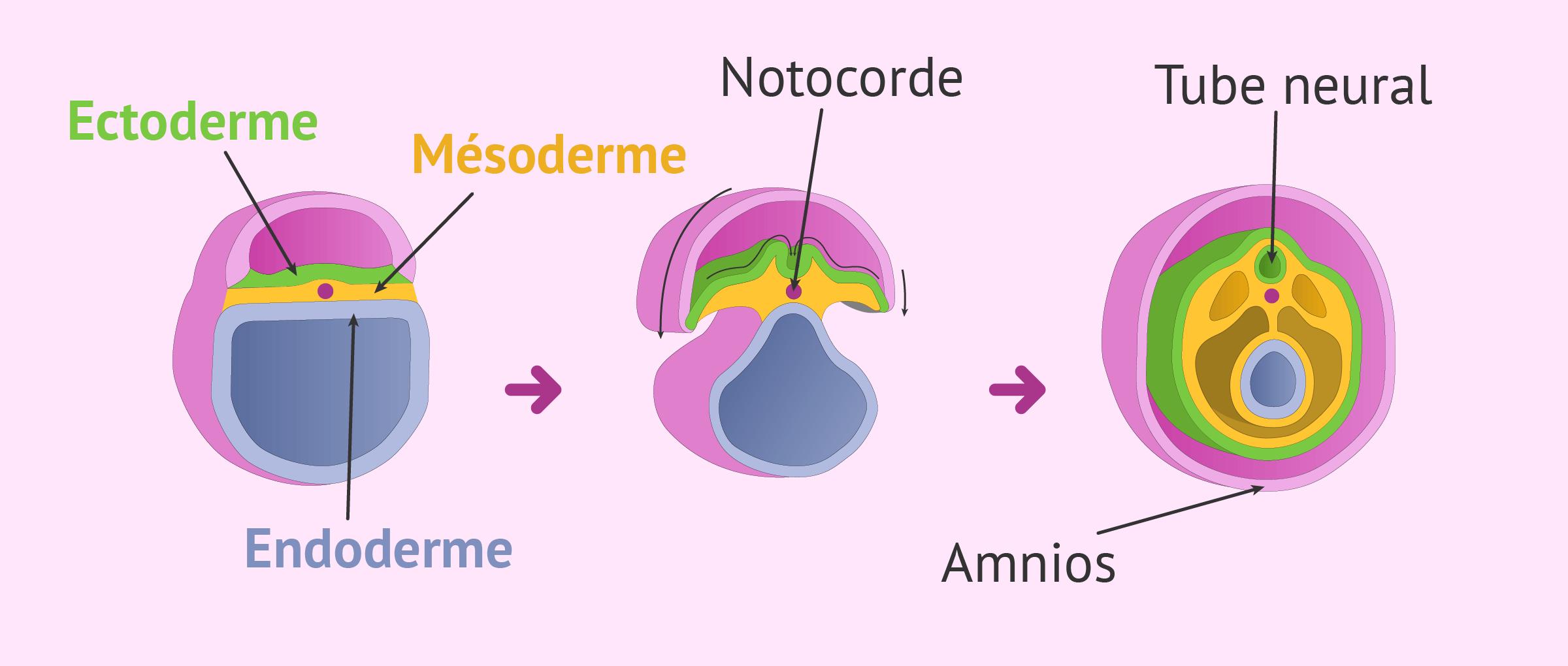 Début de l'organogenèse de l'embryon