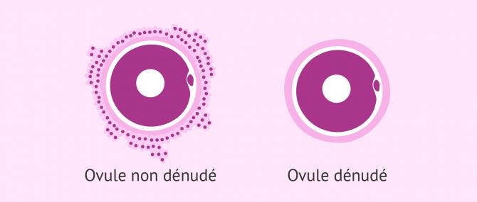 Imagen: Dénudation des ovules