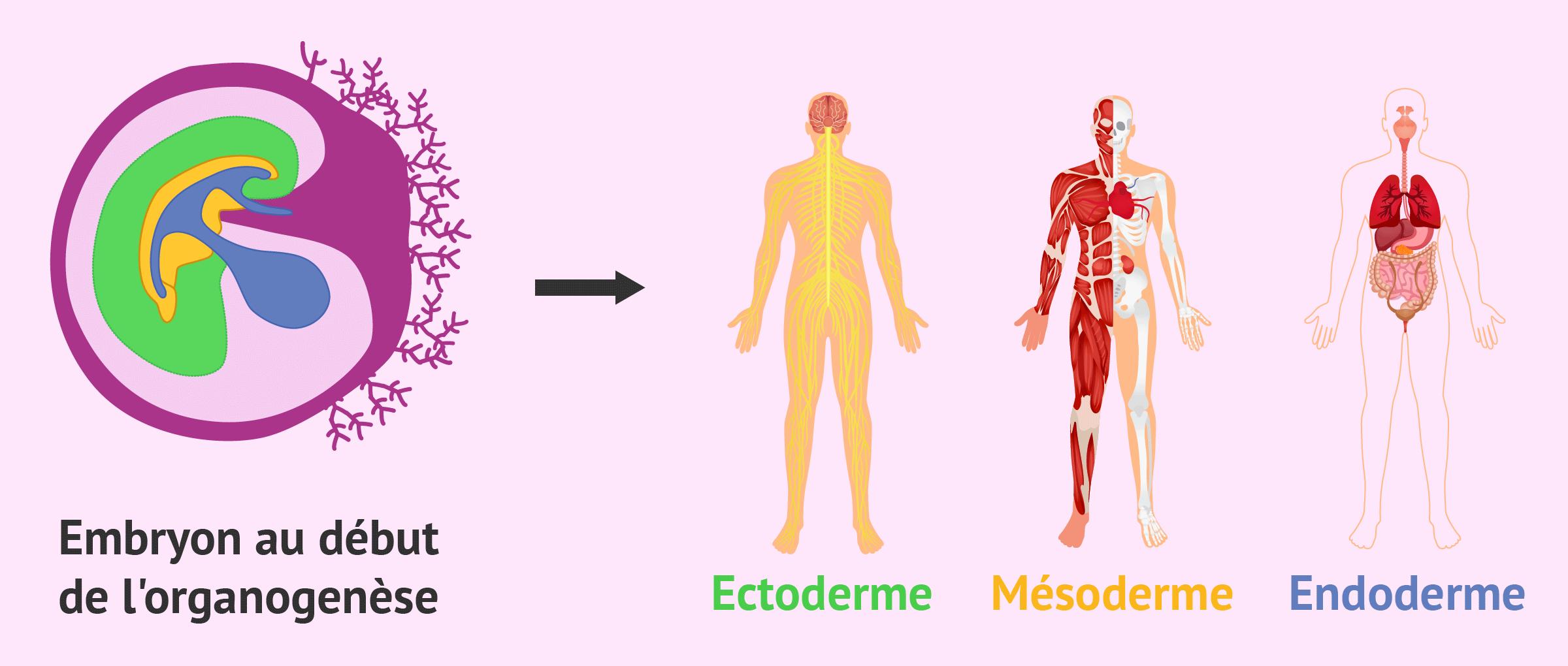 Couches embryonnaires et organogenèse