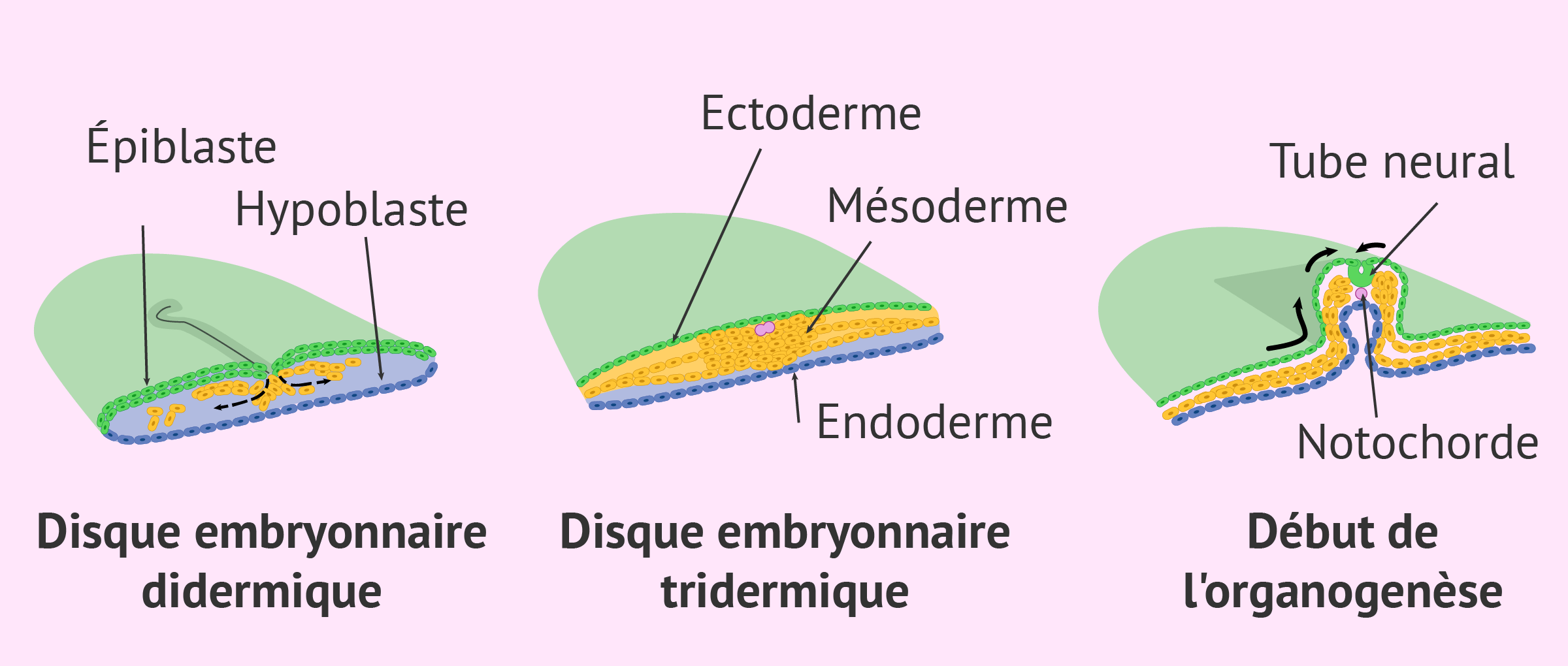 Formation du disque embryonnaire tridermique