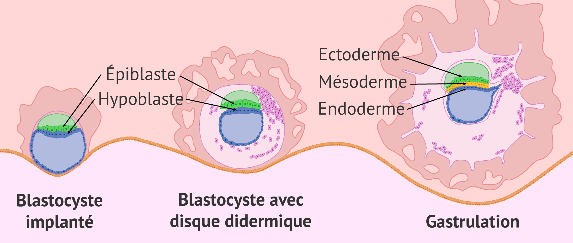 Implantation et gastrulation embryonnaire