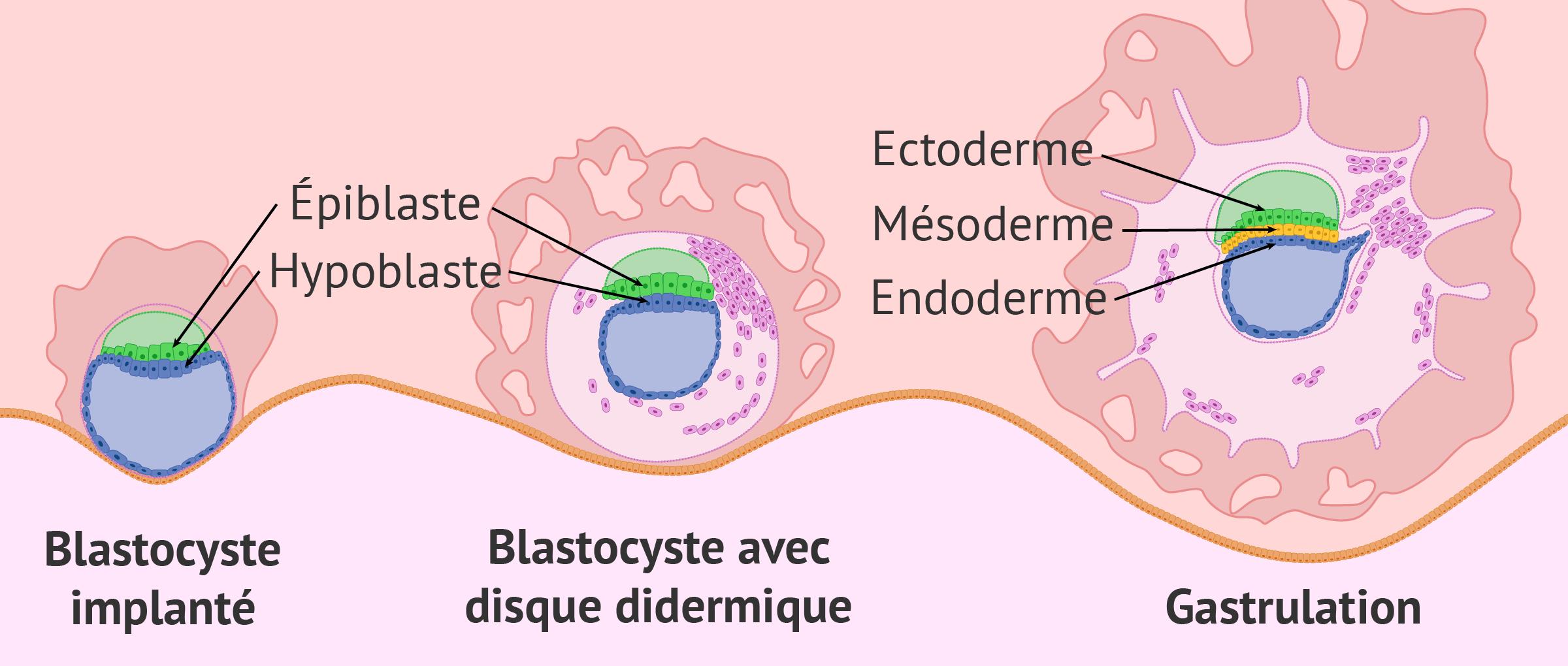 Implantation et gastrulation embryonnaire