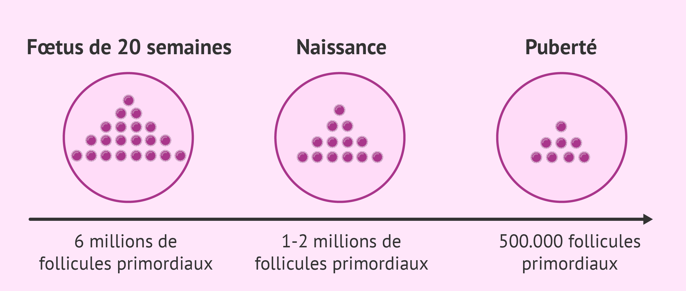 Nombre de follicules primaires chez les femmes avant la naissance et pendant la puberté