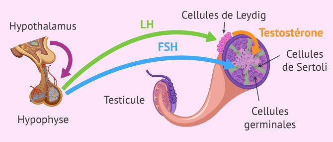 Imagen: Causes endocriniennes