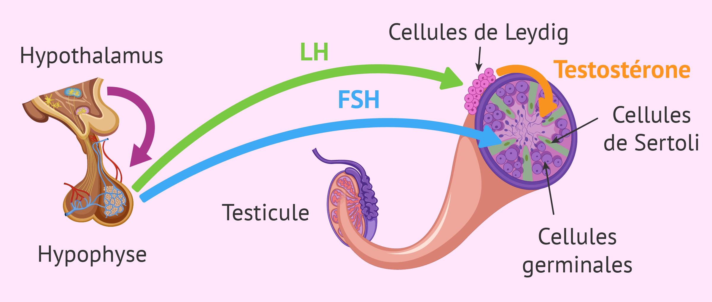 Stérilité masculine due à un facteur pré-testiculaire (endocrinien)