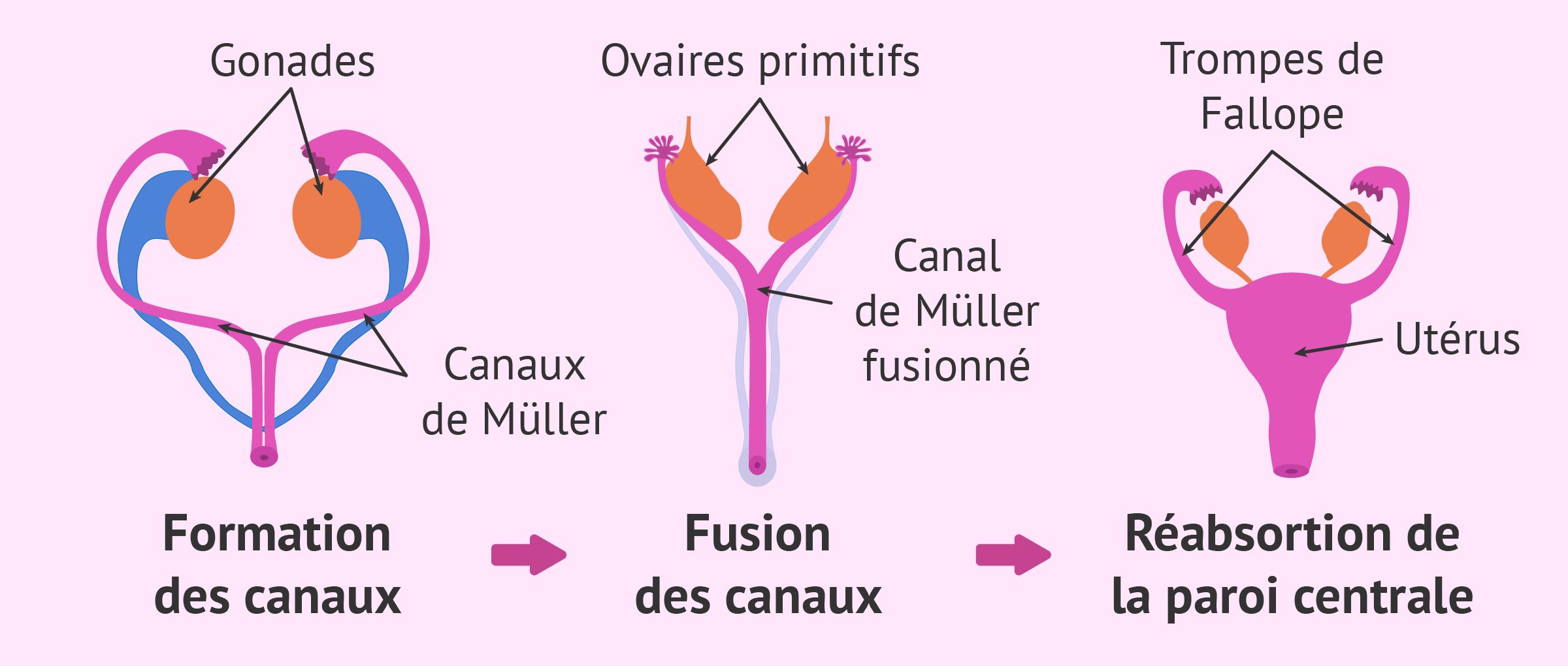 Formation de l'utérus pendant le développement embryonnaire