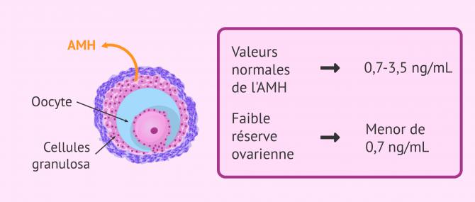 Imagen: Sécrétion de l'hormone anti-mullerienne (AMH)