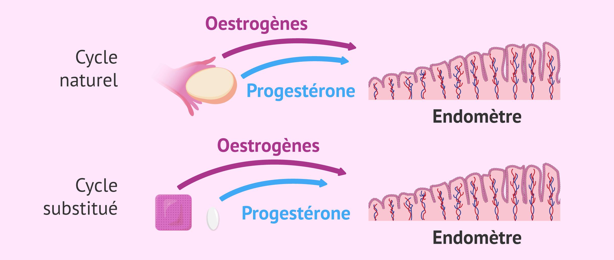 Préparation de l'endomètre pour le transfert d'embryons