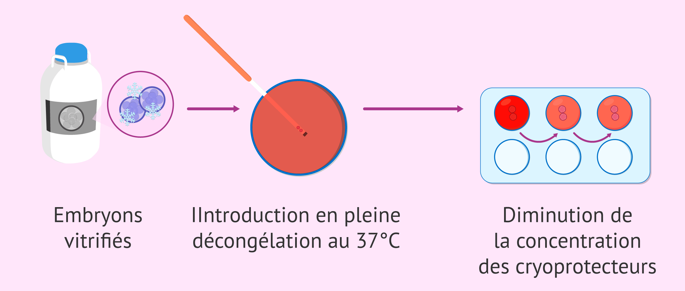 Processus de dévitrification des embryons