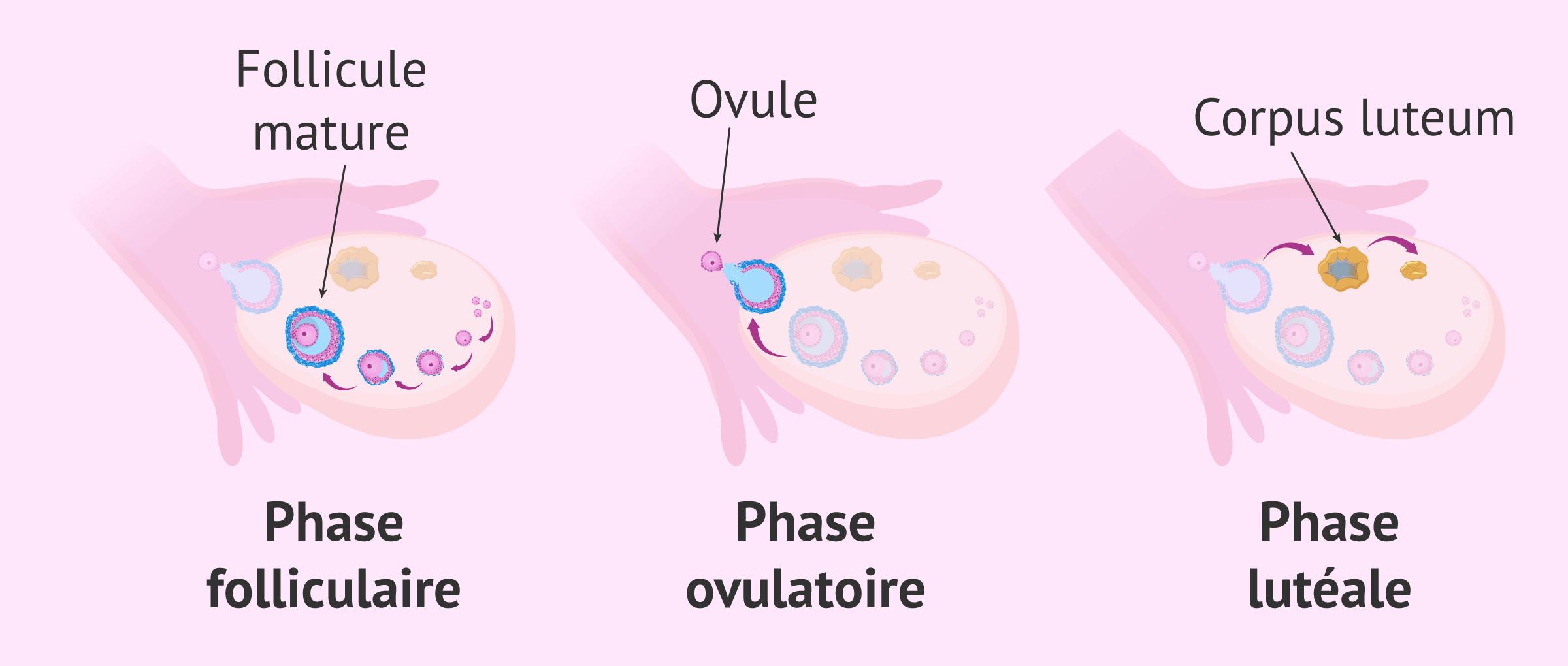 Libération des ovules