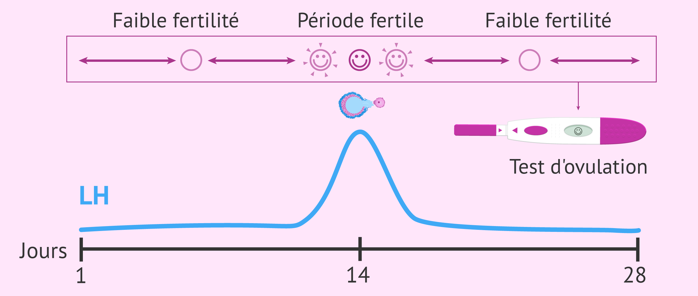 Que mesure le test d'ovulation ?
